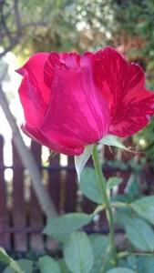 lijepa ruža