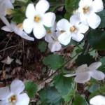 bakopa bijela