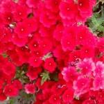 crvena vrbena 4