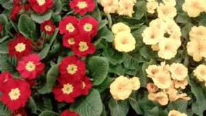 jaglac cvijet